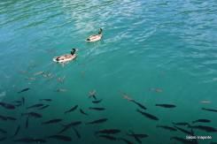 Lago Kozjak: patos e peixes